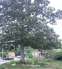 Merrimon Ave. Magnolia
